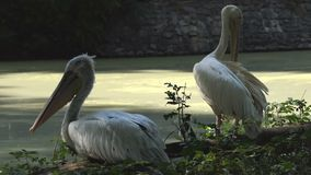 Two White Pelicans in a Zoo. The Relax And Clean Feathers. A Closeup of Two White Pelicans. One of Them is Sleeping on a Lake Bank. the Second One is Cleaning stock video