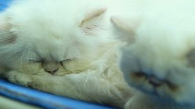 Two white Persian cats sleeping. Stock footage stock footage