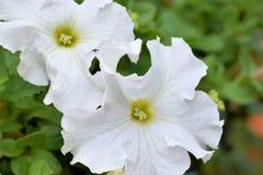 Two White Petunias Stock Images