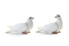 Two white pigeon Royalty Free Stock Photo