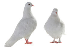 Two white pigeon Royalty Free Stock Images