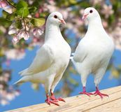 Two white pigeon on flowering background Royalty Free Stock Photos