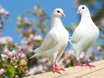 Two white pigeon on flowering background Royalty Free Stock Image