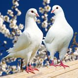 Two white pigeon on flowering background Royalty Free Stock Images