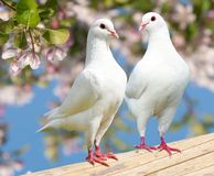 Two white pigeon on flowering background Royalty Free Stock Photo