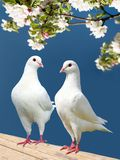 Two white pigeon on flowering background Stock Photos