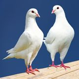 Two white pigeon isolated on black background. View of two white pigeon isolated on black background Stock Photography