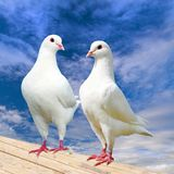 Two white pigeon on perch with beautiful sky. Imperial pigeon, ducula Royalty Free Stock Photos