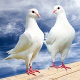Two white pigeon on perch with cloudy sky Royalty Free Stock Photos