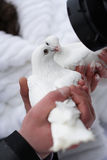 Two white pigeons. In hands of a newly-married couple Royalty Free Stock Photo