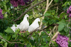 Free Two White Pigeons Royalty Free Stock Photo - 41496245