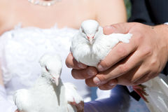 Two white pigeons Stock Photography
