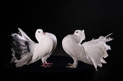 Two white pigeons Stock Photo