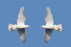 Two white pigeons on blue background Stock Photo