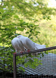 Two White Pigeons Royalty Free Stock Photos