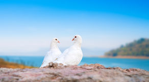 Two white pigeons on perch Royalty Free Stock Photography