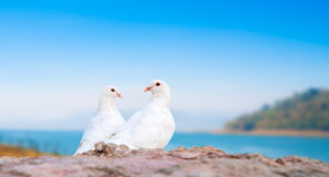 Two white pigeons on perch Royalty Free Stock Images