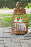 Two white pigeons in a wicker cage Stock Image