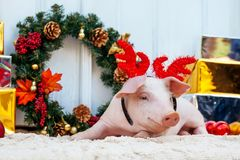 Pig piglet little white background wicker cute breed new year ha. Two white pigs sits near the Christmas decoration. Cute little piglets with funny caps on the stock images