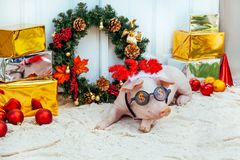 Pig piglet little white background wicker cute breed new year happy grass two holiday caps red birthday party royalty free stock photos