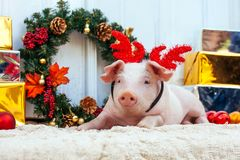 Pig piglet little white background wicker cute breed new year ha. Two white pigs sits near the Christmas decoration. Cute little piglets with funny caps on the stock photography