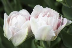 Two white-pink tulips in garden stock images