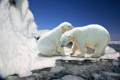 Two white polar bears. On ice floes Royalty Free Stock Photography