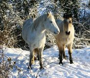 White ponies in the snow Royalty Free Stock Photo