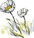 Two white poppy Royalty Free Stock Photos