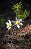 Two white pulsatilla flowers on a dark background Stock Photography