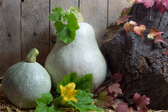 Two White Pumpkins with Green and Red Leaves in Autumn Still Life, Wooden Planks Background Stock Photography
