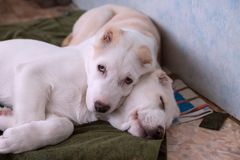 Two white puppies, 5 months old, rest on the litter indoors. Female and male, 5 months old. Alabai is a Central Asian and Turkmen Shepherd Royalty Free Stock Photos