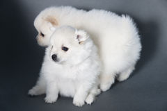 Two white puppy German Spitz puppy Stock Image