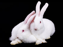 Two white rabbit Stock Images