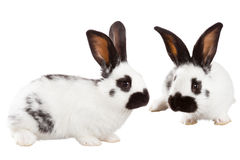Two white rabbit Stock Image