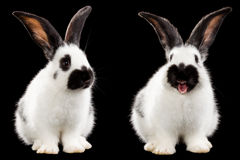 Two white rabbit Royalty Free Stock Photography