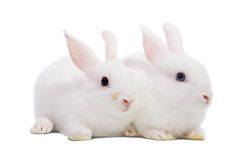 Two white rabbits. Isolated on white background stock photography
