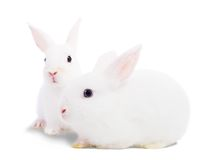 Two white rabbits royalty free stock photo