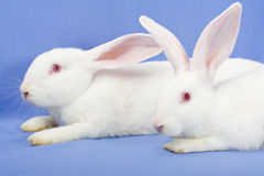 Two white rabbits Stock Photos