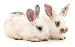 Two white rabbits. Royalty Free Stock Photos