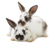 Two white rabbits Royalty Free Stock Photos