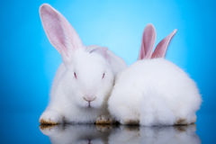 Two white rabbits in funny position Royalty Free Stock Image