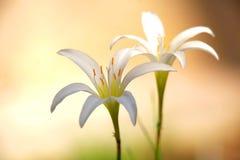 Two white rain Lily flowers Stock Photos