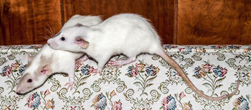 Two white rats on a couch. Two white female dumbo rat sisters sitting together on the back of a couch Stock Images