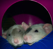 Two white rats snuggling in a rat pile. Two white rats with black, gray, and tan markings snuggling together in a rat pile Stock Image