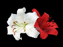 Two white and red lily. White and red lily on black background Royalty Free Stock Photo