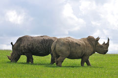 Two white rhino Royalty Free Stock Images