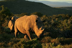 Two white rhino approching during sunset. A lovely sunset light on these two big white rhinos in a safari park in South Africa stock image
