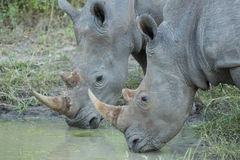 Two White Rhino (Ceratotherium simum) drinking Royalty Free Stock Image