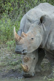 Two White Rhino (Ceratotherium simum) drinking Stock Photos